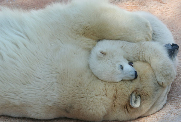 polar bear hugging her cub