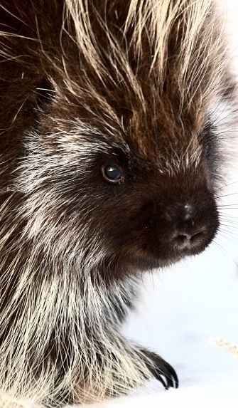North American Moving >> Porcupine Facts - Animal Facts Encyclopedia