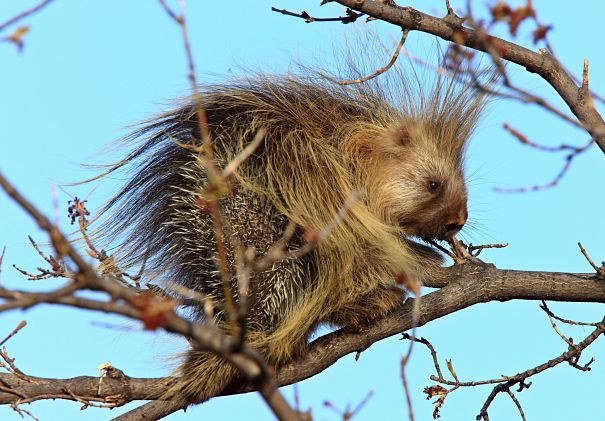 Porcupine Facts - Animal Facts Encyclopedia