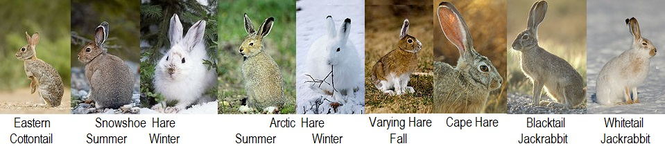 wild rabbit and hare species