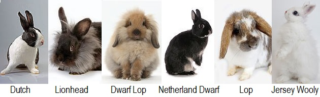 some popular rabbit breeds