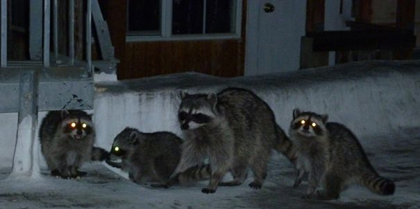 Raccoon family at night