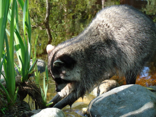 raccoon washing food
