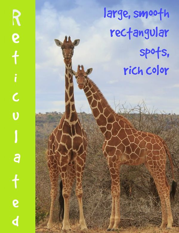 reticulated giraffe description