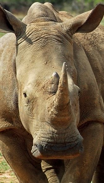 portrait of a White Rhino