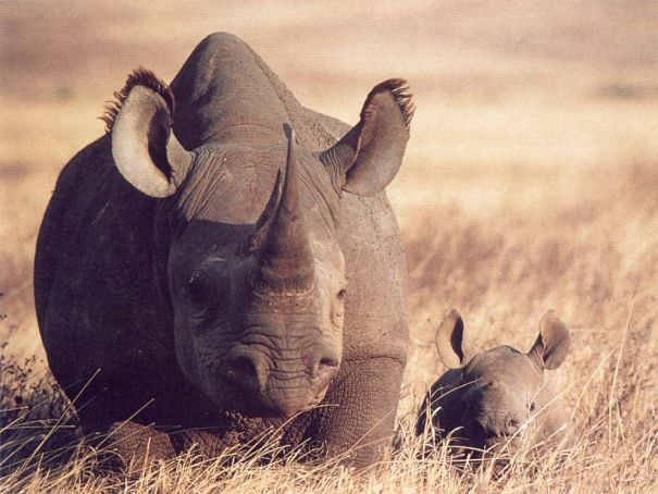 bleck rhino mother and baby
