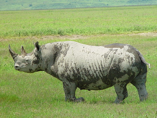 black rhinoceros covered with mud