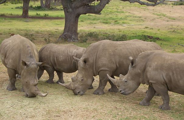 white rhino group