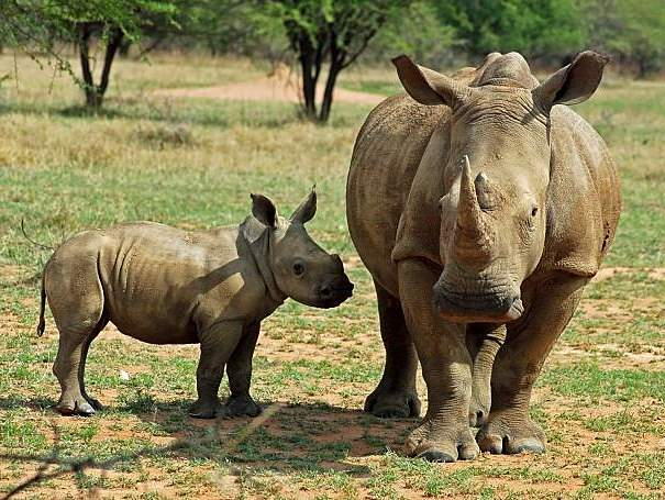 white rhino mother and baby