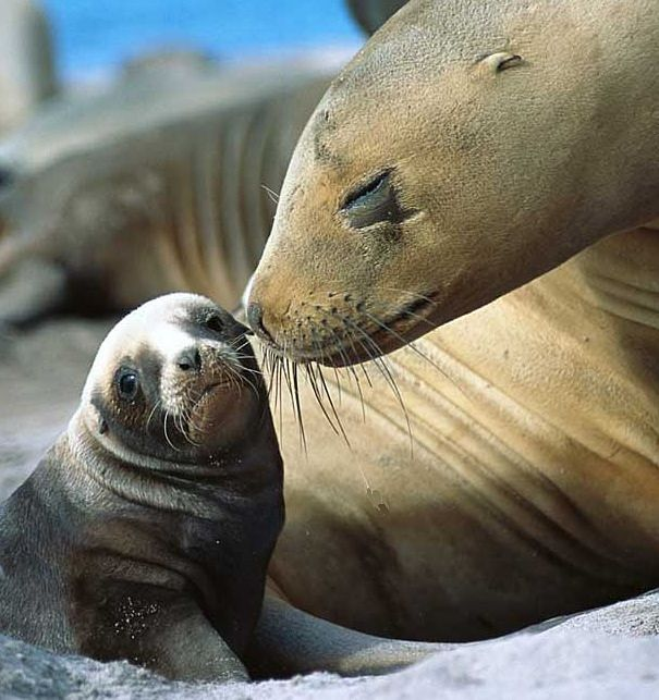 sea lion mother and pup