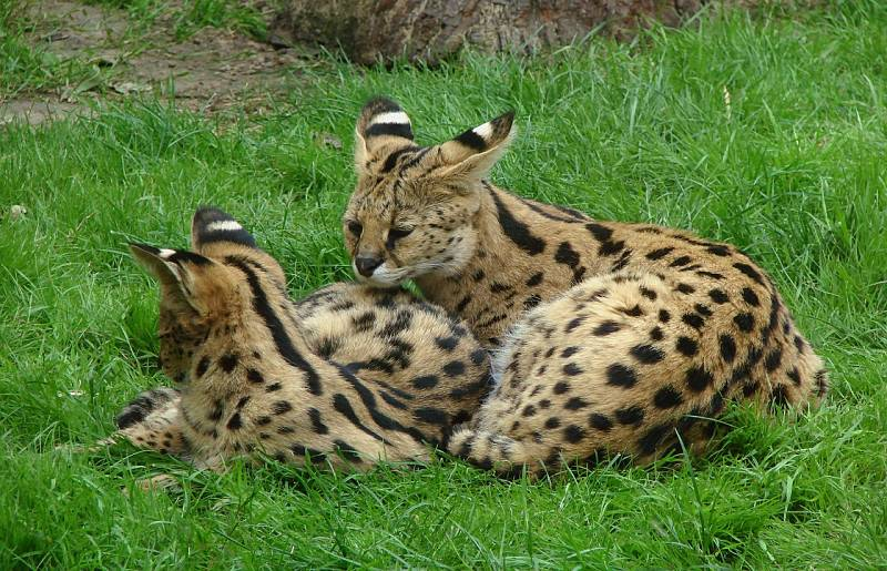 serval cat mother and baby