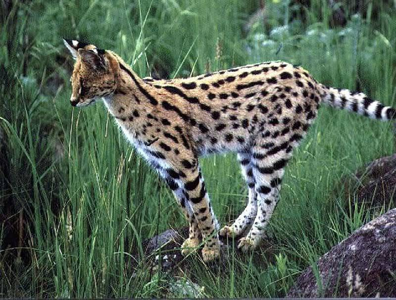serval on a rock