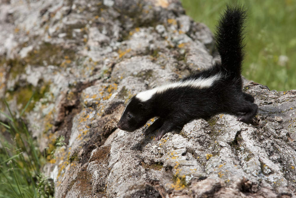baby skunk on a log