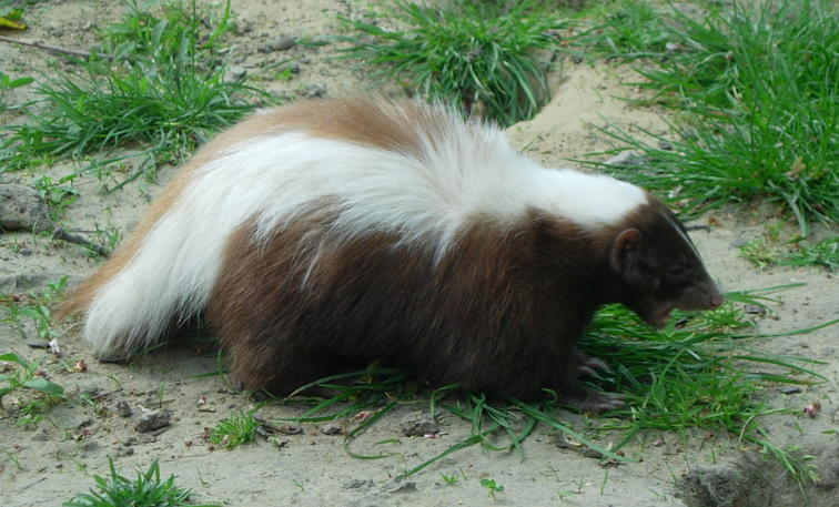 brown hog-nosde skunk