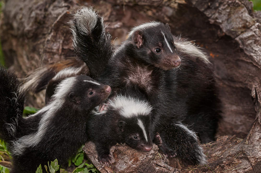 skunk mother and babies