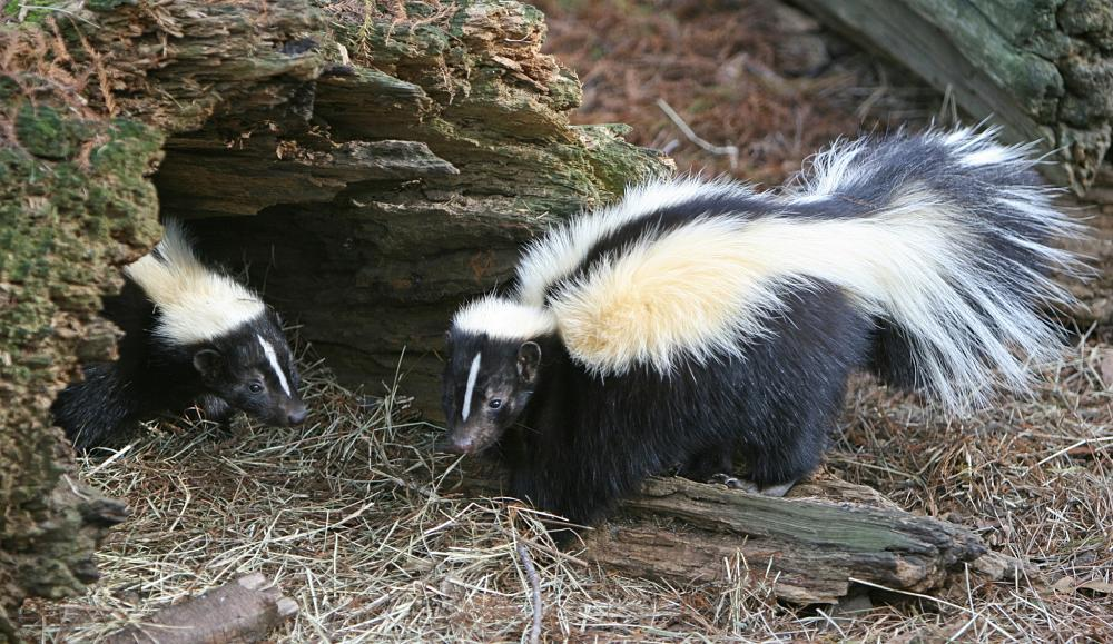 Skunk Facts Animal Facts Encyclopedia