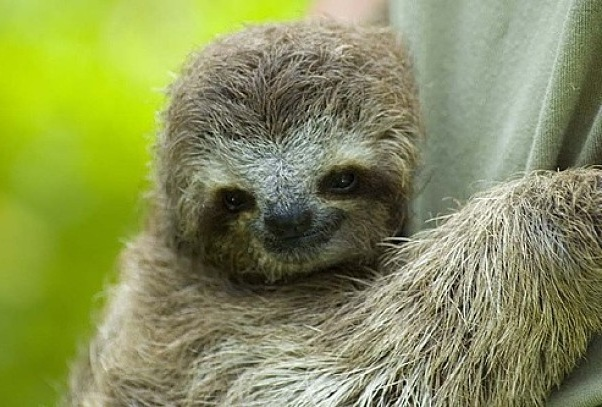 What S The Difference Between Three Toed And Two Sloths