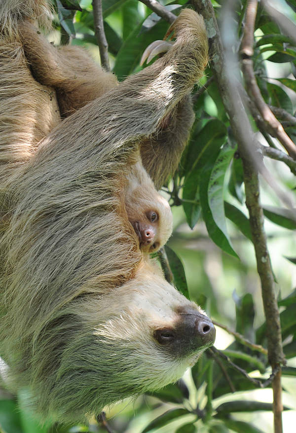 sloth mother and baby