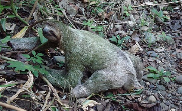 sloth on the ground