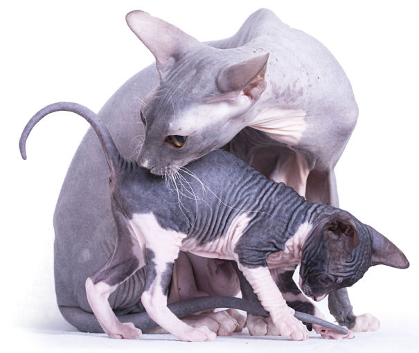 Sphynx cat mother and kitten
