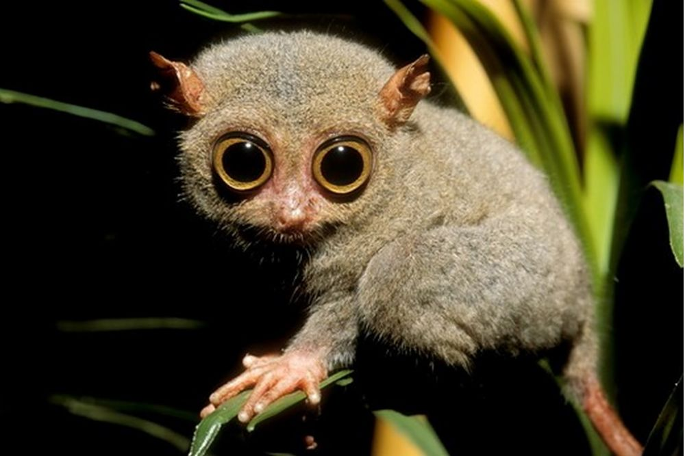 If you like those eyes you should check out the tarsier which has the largest eye size to body size ratio of any mammal! Theyre also pretty stinkin cute!