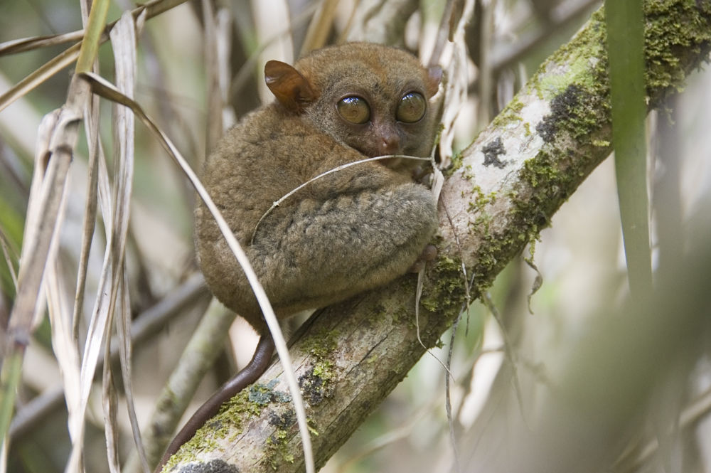 tarsier in the reeds