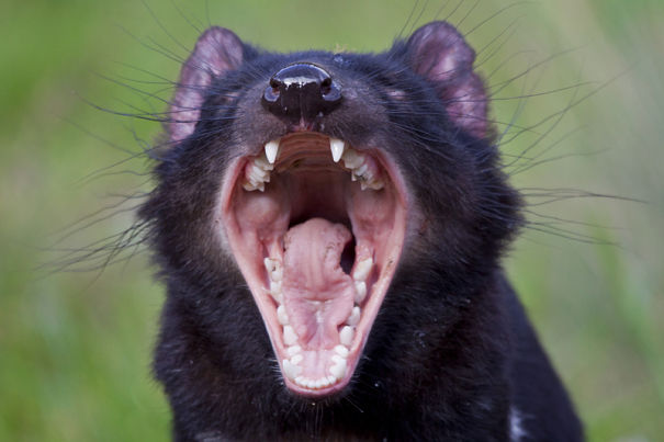 screaming Tasmanian devil