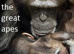 great apes facts