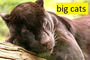 big cat facts