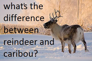 reindeer facts