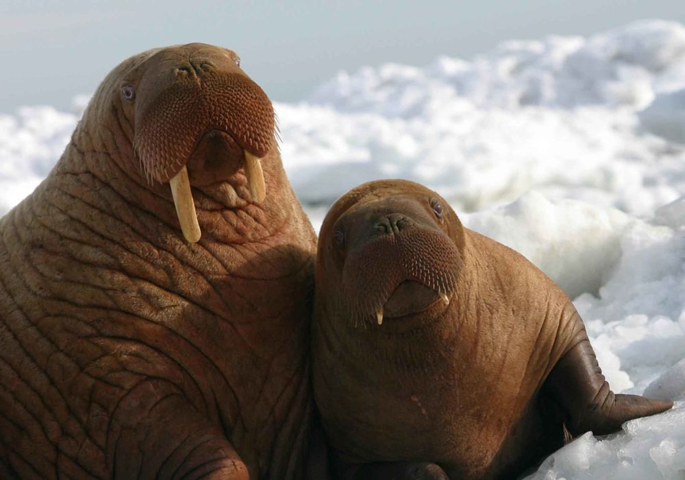 walrus mother and baby closeup