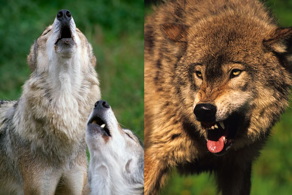 wolves howling and snarling