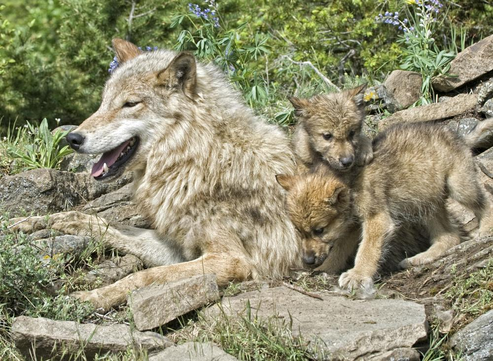 wolf mother and babies