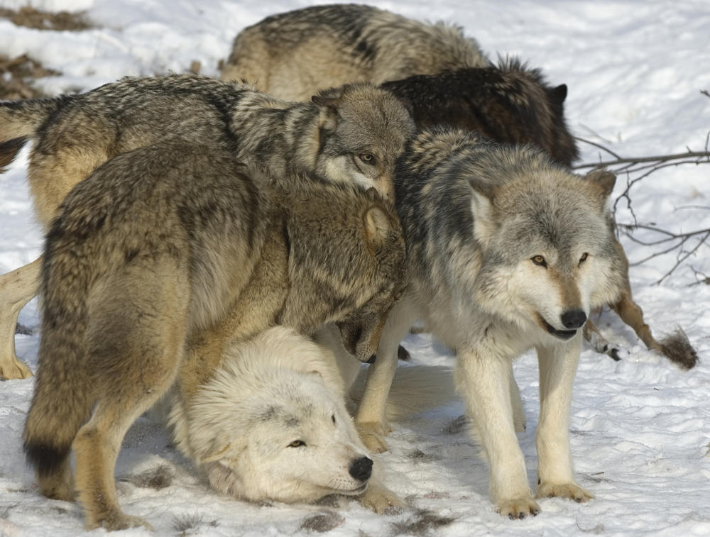 wolf pack packed