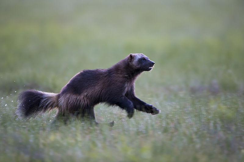 wolverine running in field