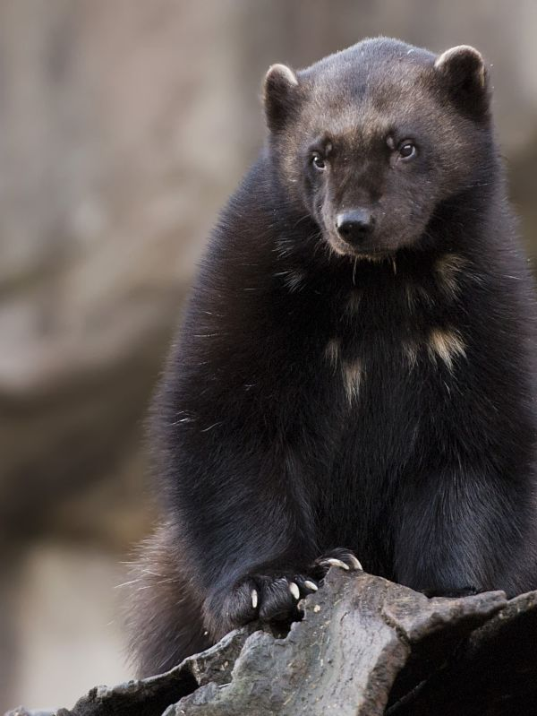 Wolverine Facts Animal Facts Encyclopedia