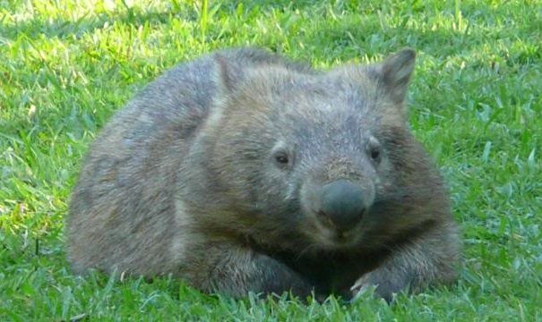 bare-nosed wombat reclining