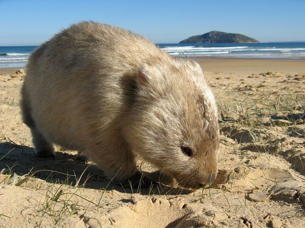 bare-nosed wombat on the beach