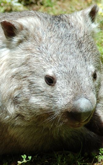 portrait of a Wombat