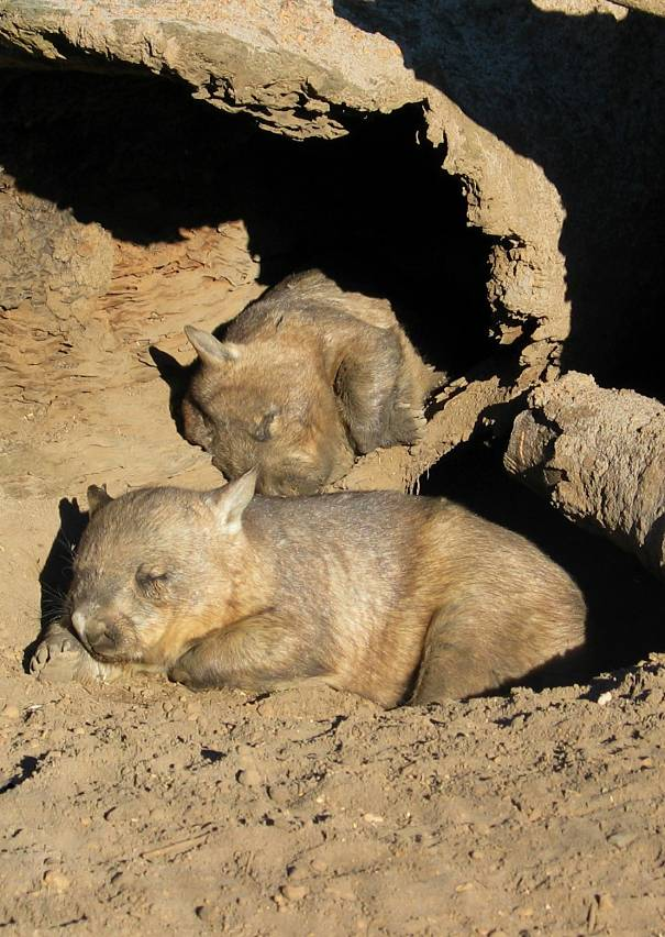 hairy-nosed wombats