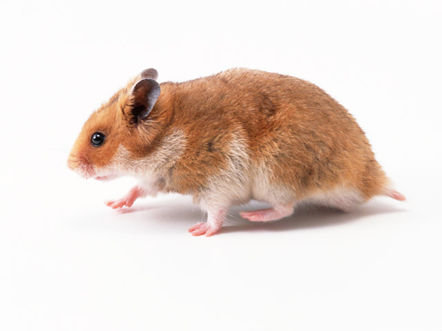 Syrian hamster on the move