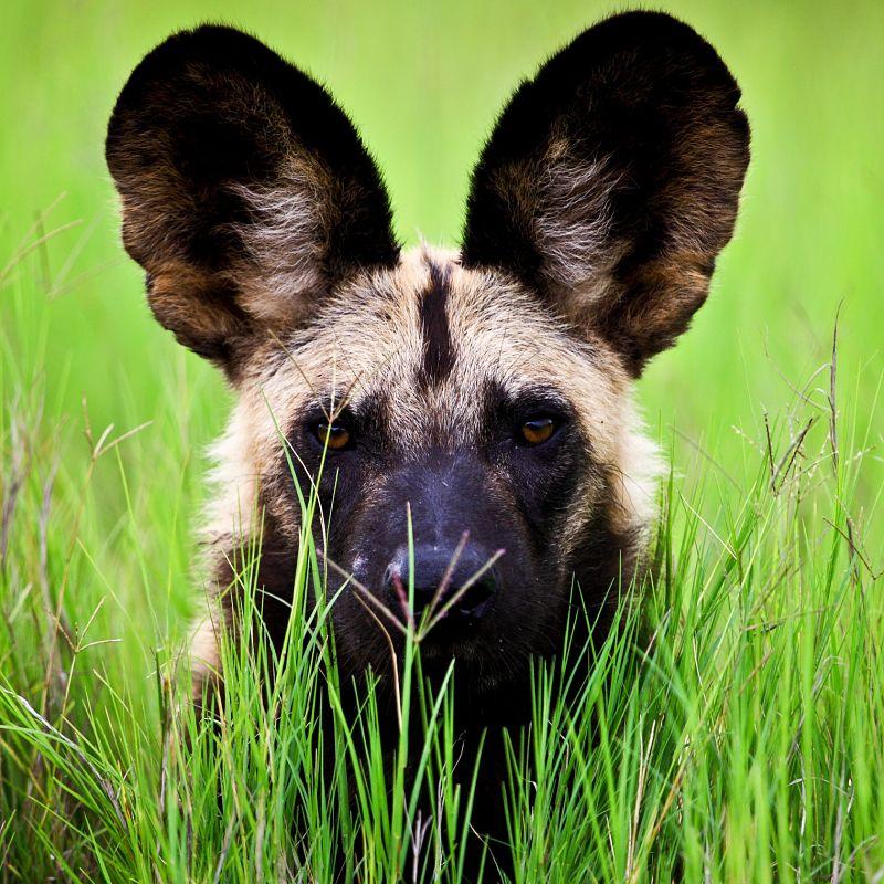 African Wild Dog Extreme Closeup