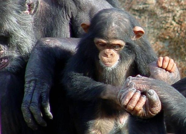 chimp family