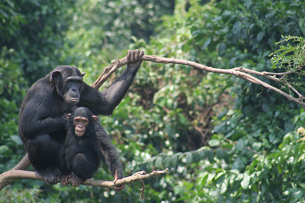 chimps in tree