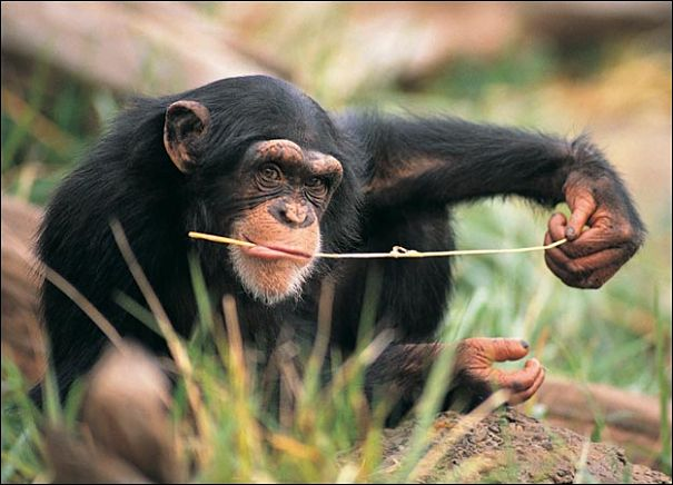 chimp fishing for termites