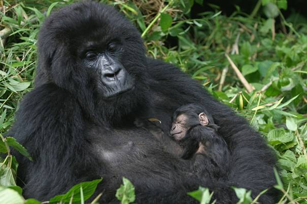 mountain gorilla with infant