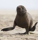 sea lion running