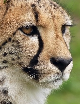 Cheetah Facts Animal Facts Encyclopedia