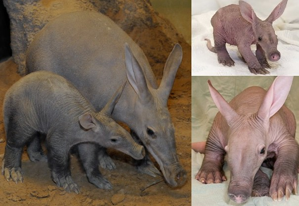 aardvark mother and baby