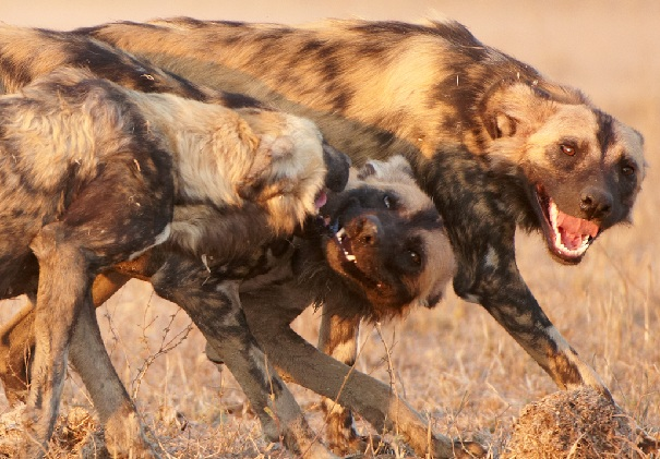 African wild dog rally